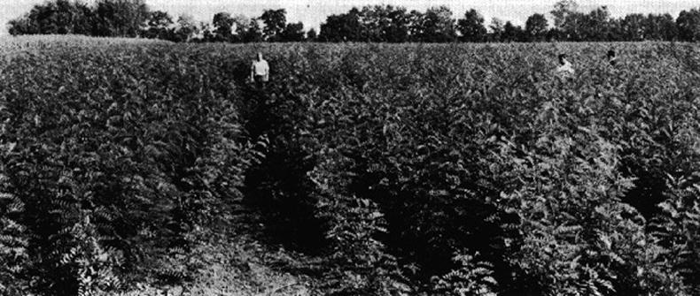Ciarrocchi Baumschulen in Argentinien im Jahr 1900