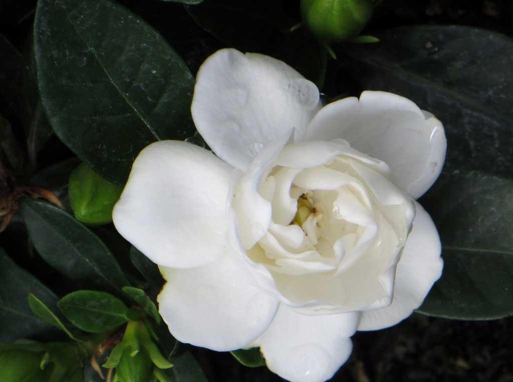 gardenia ciarrocchi vivai