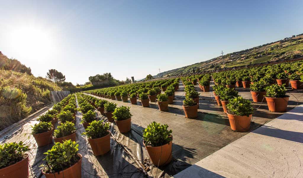 Eingebettet in einem Tal der Marken,  unweit vom Meer und im Schatten mittelalterlicher Burgen, die Ciarrocchi-Gärtnereien genießen eine äußerst günstige klimatische Lage, mit häufiger Besonnung und Mittelmeerklima.